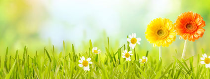 Colorful fresh panoramic spring banner. With orange and yellow flowers and white daises in new green grass in a garden or meadow with copy space over a blurred royalty free stock photography