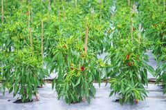 Colorful fresh red and green chili spur pepper hanging on tree in organic vegetable farm , nature background Cayenne pepper, stock images