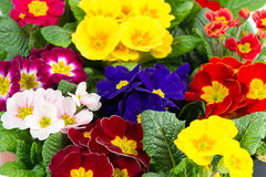 Colorful fresh spring flowers primula Stock Image