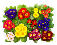 Colorful fresh spring flowers primula Royalty Free Stock Image