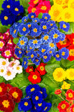 Colorful fresh spring primula flowers Royalty Free Stock Photos