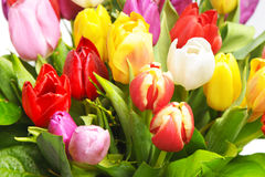 Colorful fresh spring tulips Stock Photography