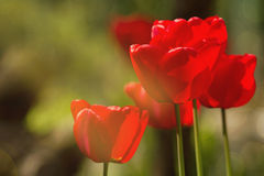 Colorful fresh spring tulips flowers with dew drops. Royalty Free Stock Photos