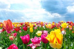 Colorful Fresh Tulips in warm Sunlight royalty free stock images