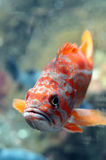 Colorful freshwater fish Royalty Free Stock Photo