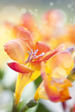 Colorful Fresia Flowers Royalty Free Stock Photography