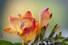 Colorful Fresia Flowers Royalty Free Stock Images