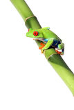 Colorful Frog. Colorful Red-Eyed Tree Frog on Bamboo.  Isolated on white background Stock Image
