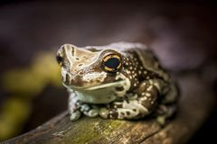 Colorful frog on wood with big eyes. stock photos
