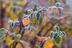 Colorful frosted leaves in early chilly morning as background royalty free stock photos
