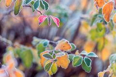 Colorful frosted leaves in early chilly morning as background stock image