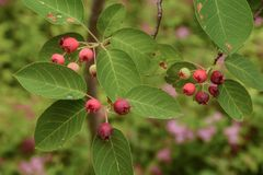 Colorful Fruit Bearing Tree Royalty Free Stock Photography