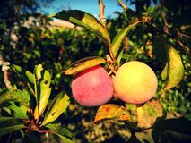 Ripe plums of various colors on branch full of leaves royalty free stock photography