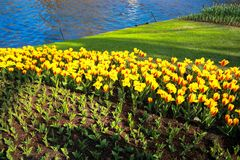 Colorful full blooming tulip garden. Royalty Free Stock Image