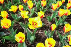 Colorful full blooming tulip garden. Stock Photography
