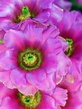 Colorful Fushia Flowers of the Opuntia basilaris Beavertail Cactus stock photography