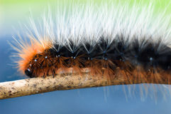 Colorful and fuzzy caterpillar Royalty Free Stock Photos