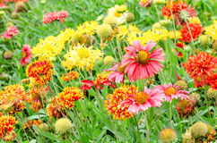 Colorful Gaillardia or blanket flowers in the garden Stock Photo