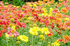 Colorful Gaillardia or blanket flowers in the garden Stock Image