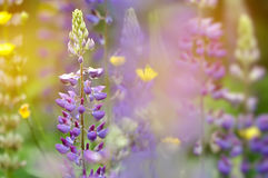 Colorful garden of blooming Lupine flowers Royalty Free Stock Photography