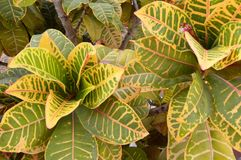 Colorful garden croton Royalty Free Stock Photo