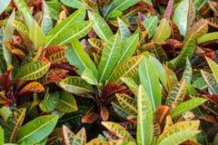 Colorful Garden croton's leaves (Codiaeum variegatum). Beautiful leaves Royalty Free Stock Photo