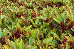 Colorful Garden croton's leaves (Codiaeum variegatum). Beautiful leaves stock photography