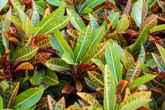Colorful Garden croton's leaves (Codiaeum variegatum) Royalty Free Stock Photo