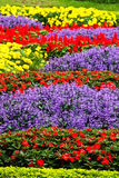 Colorful Garden Flower Royalty Free Stock Image