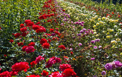 Colorful garden flowers  Royalty Free Stock Photography