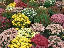 Colorful garden flowers in flowerpots Stock Photo