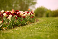 Colorful garden flowers with tulips Royalty Free Stock Image