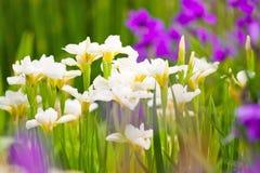 Colorful garden irises in bloom Stock Photo
