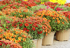 Colorful Garden Mums for Sale Royalty Free Stock Photography