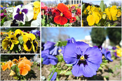 Colorful garden pansies photo collage Royalty Free Stock Photos