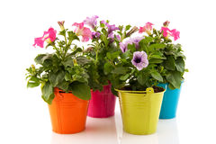 Colorful garden Petunias Stock Photography