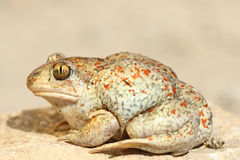 Colorful garlic toad. Standing on the ground Pelobates fuscus royalty free stock photos