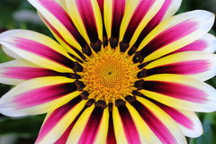 Colorful Gazania flower. Close-up of a Gazania flower, the Big Kiss White Flame, with its colorfully striped petals. Bright summer colors Stock Images