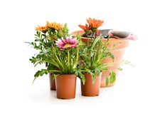Colorful Gazania flowers in flowerpot isolated on white. Ready. For planting stock photo