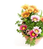 Colorful Gazania plants in the flowerpot isolated on white royalty free stock photos