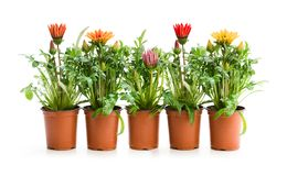 Colorful Gazania plants in the flowerpot isolated on white stock photos