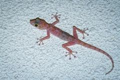 Colorful gecko with big eyes climbing and hunting flies stock images