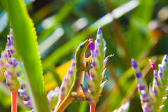 Colorful gecko Royalty Free Stock Photography