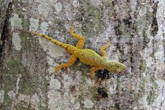 Colorful small lizard Royalty Free Stock Photo