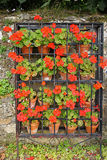 Colorful geraniums in blossom Royalty Free Stock Photo
