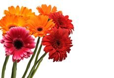 Colorful gerber bouquet. Isolated on white background Stock Images
