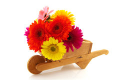 Colorful Gerber bouquet in wheelbarrow Royalty Free Stock Photo