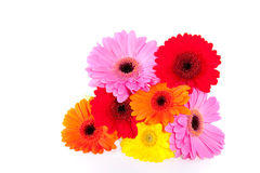 Colorful gerber daisies. Isolated over white Stock Photo