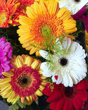 Colorful gerber daisies Stock Photography