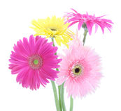 Colorful gerber daisies. On white background Royalty Free Stock Photography